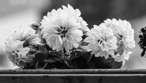Blümchen im Balkonkasten in schwarz-weiß